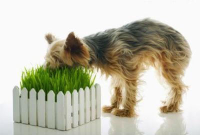 Cuando los perros comen hierba