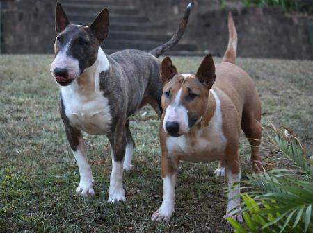 cruce Bulldog y Terrier