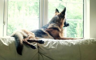 Salud y enfermedades del perro Pastor Aleman