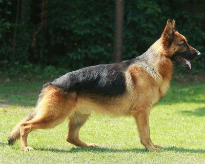 Cuidados del perro Pastor Aleman