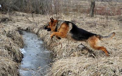 Adiestramiento del perro Pastor Aleman
