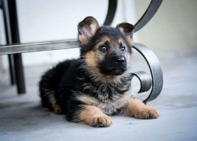 Consejos para adquirir un perro Pastor Aleman