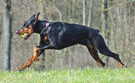 doberman perro guardian