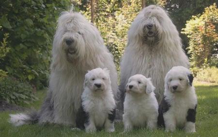 familia bobtail