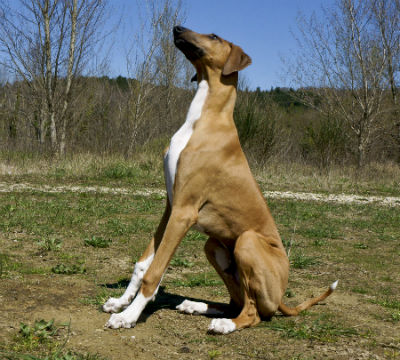 4_-_cachorro_lebrel_africano_0.jpg