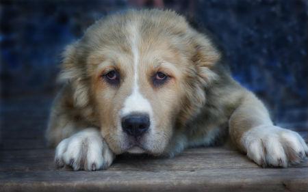 imagen_6_-_cachorro_pastor_de_asia_central.jpg