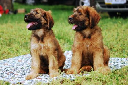 7_-_cachorros_de_briard.jpg