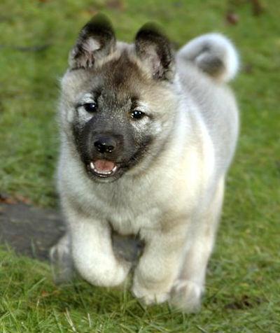6_-_cachorro_elkhound.jpg
