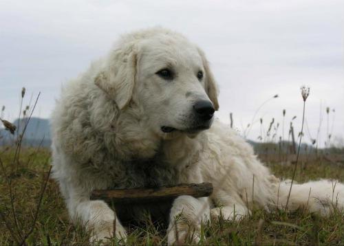 perro hungaro Kuvasz