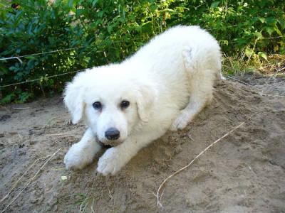 cachorro de Kuvasz