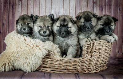 Cachorros de Eurasier