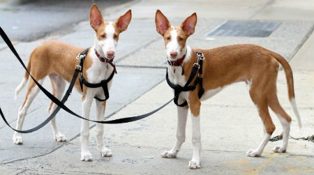 cachorros Podenco Ibicenco