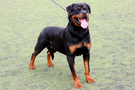 perro Rottweiler