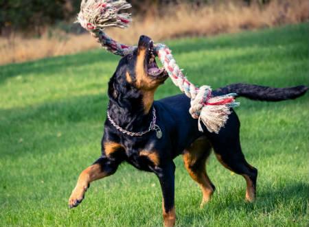 perro de Rottweil