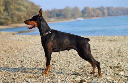 perro Doberman