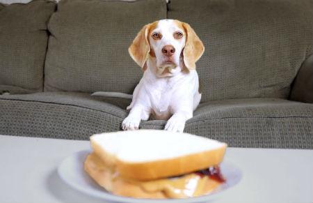 educar a tu perro para que no pida comida