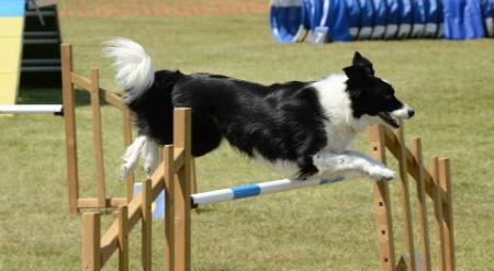 deporte canino Agility