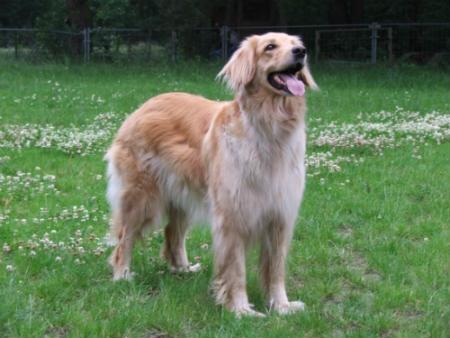 perro de granja aleman