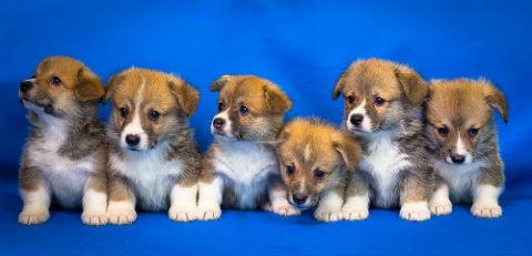 cachorros corgi