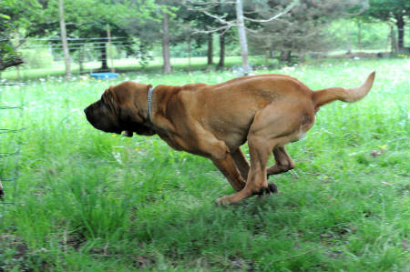 caracteristicas del Bloodhound
