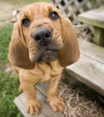 cachorro Bloodhound