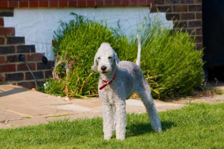 adiestrar Bedlington Terrier
