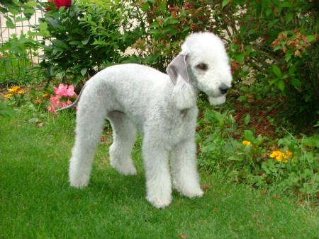 Cuidados del Bedlington terrier