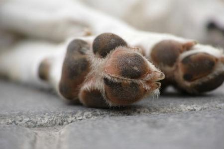 almohadillas caninas