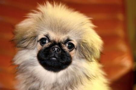 perro Pekines