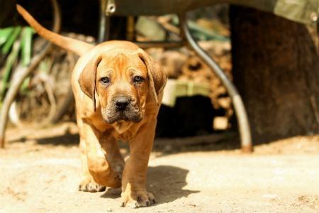 cachorro Boerboel