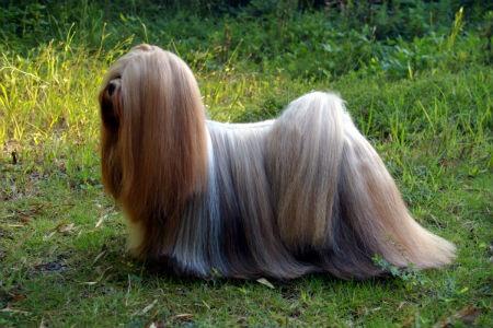 perro de lhasa