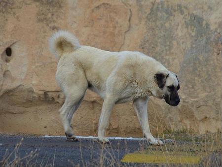 perro de sivas