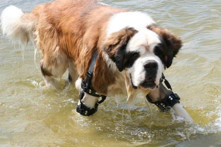 operacion displasia canina