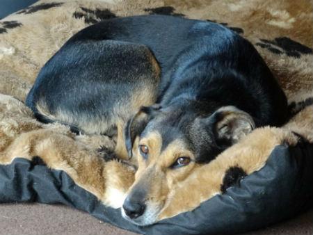 deficiencia de globulos rojos en perros