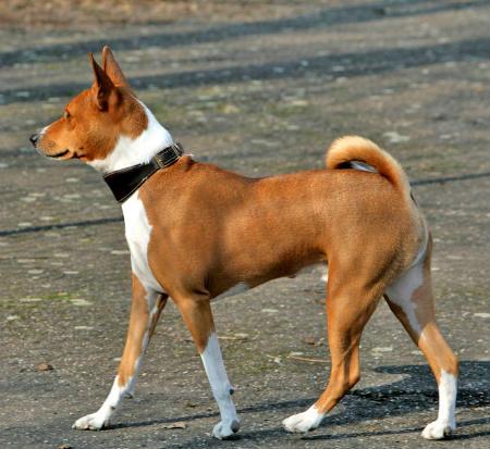 perro del congo