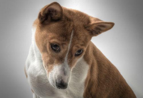 adoptar un perro basenji