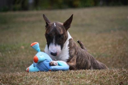 raza Bull Terrier