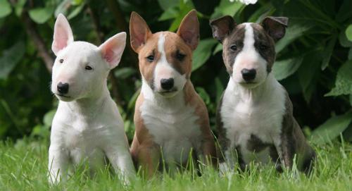 cachorros Bull Terrier