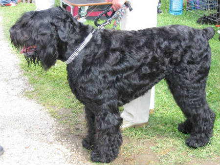 terrier negro