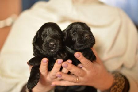 cachorros terrier negro ruso