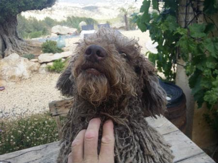 cachorro Pastor Bergamasco