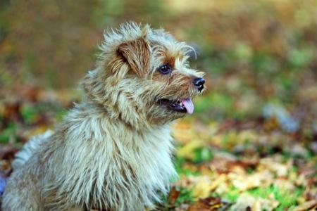 jones Terrier