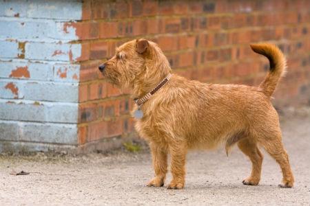 terrier de Norfolk