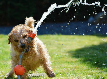 caracter Norfolk Terrier