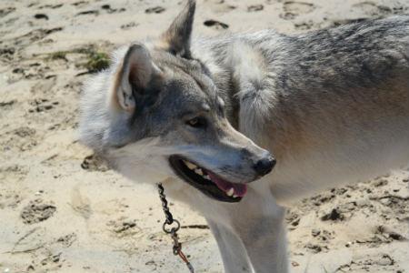 cuidados del Perro lobo de Saarloos