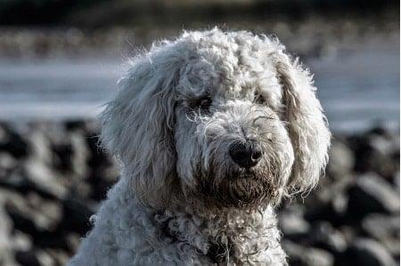 cuidados perro de agua portugues