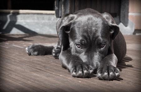 sintomas parasitos en cachorro