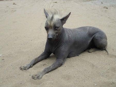 perro viringo