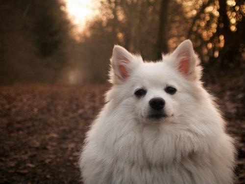 raza Perro Esquimal Americano