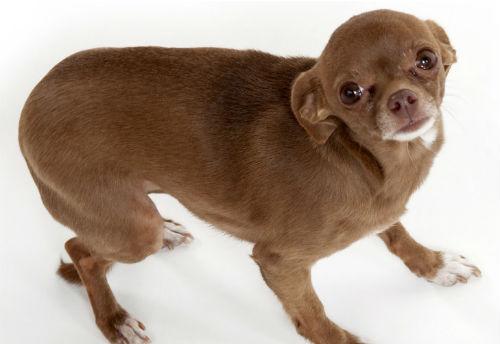 temblores en perros